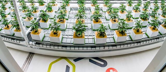 Grown Your Own Cannabis in Switzerland