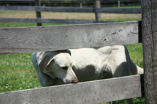 Dog 'Ozzie' in fence boards at Spirit's Whisper Ranch