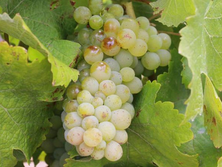 Tales of the Underrated: Chenin Blanc