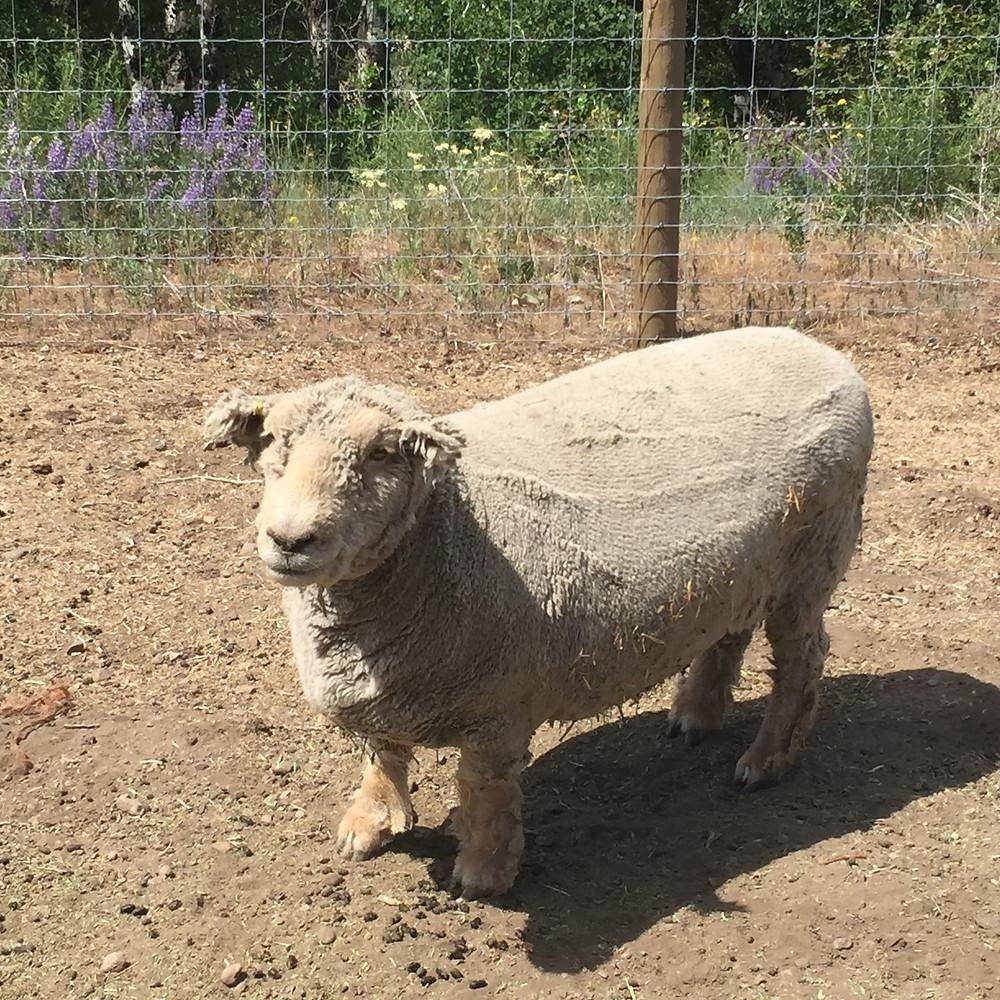 Old English Baby Doll sheep