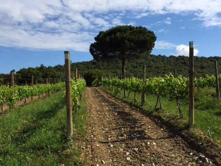 Top, Top Tuscans: on the Masseto Merlot trail