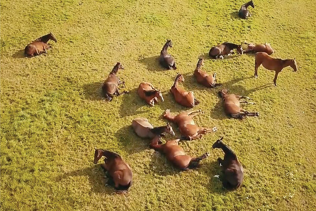 An aerial view, shot from a drone, picturing lots of horses laying on their sides in a green field.