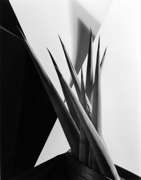 Imogen Cunningham. Agave Design #1