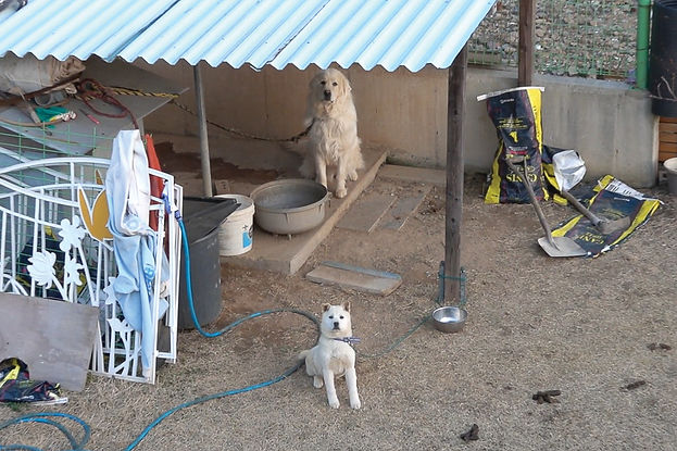 An aerial view, shot from a drone, picturing two white dogs tied up in a backyard