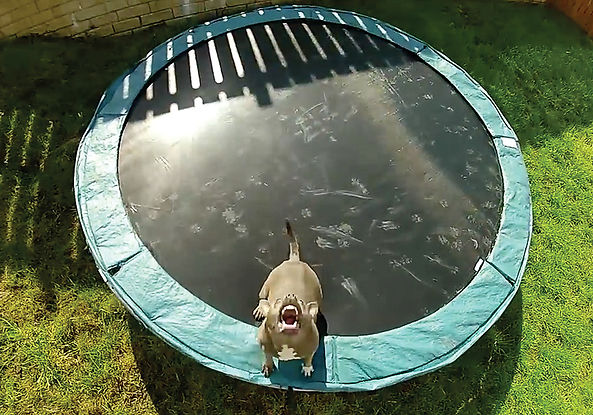 An aerial view, shot from a drone, picturing a trampoline with a barking dog on it.
