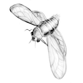 cicade.jpg