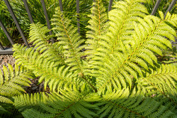 Native fern