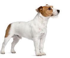 Jack Russel Terrier.jpg