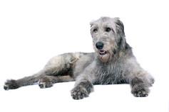 Irsk Ulvehund.jpeg