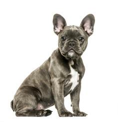Fransk Bulldog.jpeg