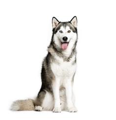 Siberian Husky.jpeg