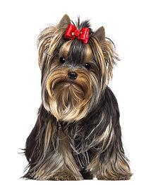 Yorkshire Terrier.jpeg