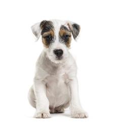 Parson Russell Terrier.jpeg