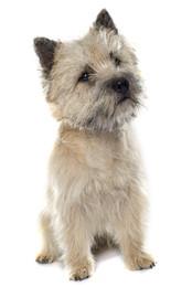 Cairn Terrier.jpeg