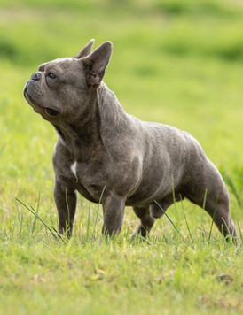 Fransk Bulldog - Kurt Ny.jpeg