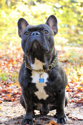 Fransk Bulldog - Arnold.JPG