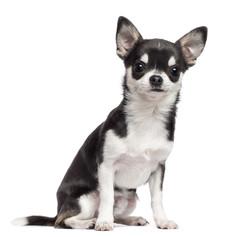 Chihuahua.jpeg