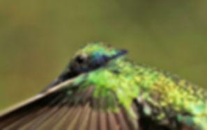 Observatorio de Colibríes Alarte - Colibríes - Hummingbirds, www.observatoriodecolibries.com Bogotá Colombia La Calera