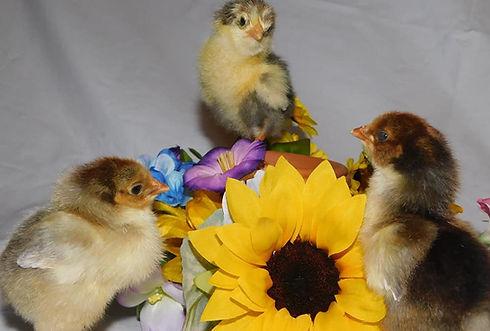 chicks1.jpg
