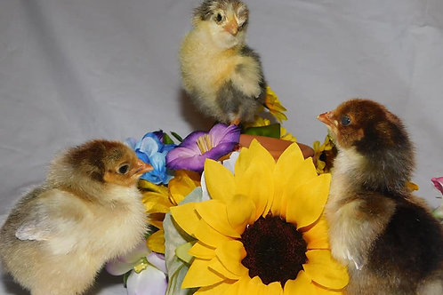 Swedish Flower Hen Chicks