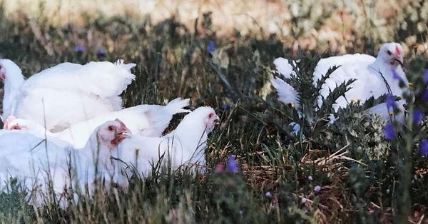 organic-chickens.jpg