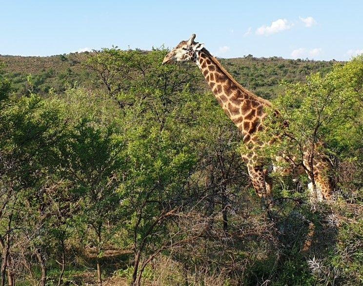 Giraffe, tall mammal.