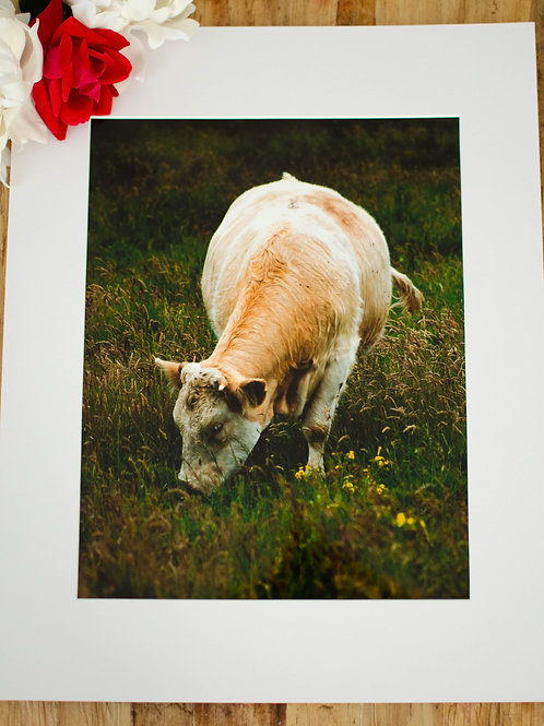 A COW FROM IRELAND  - 8x10