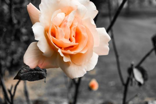 ROSE IN A ROSE GARDEN