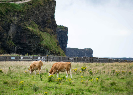 COWS BY A CLIFF