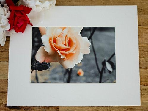 A ROSE AT KILKENNY CASTLE - 5X7