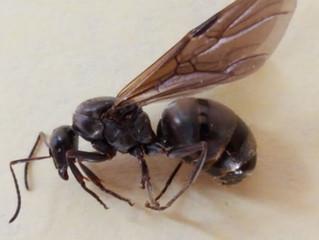 Carpenter Ant Swarmers not Termite Swarmers!