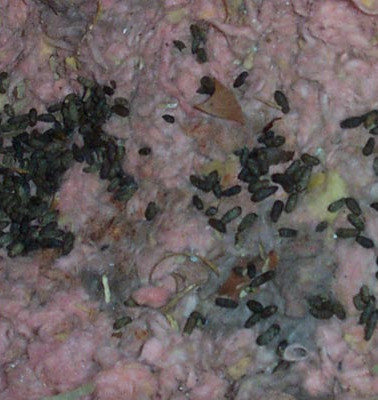 Rat dropping in attic