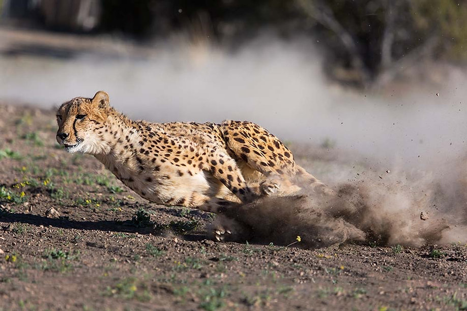 Agility, speed and balance of a Cheetah with FeldsparTech Solutions