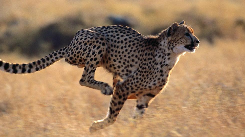 Cheetah Running 05.jpg