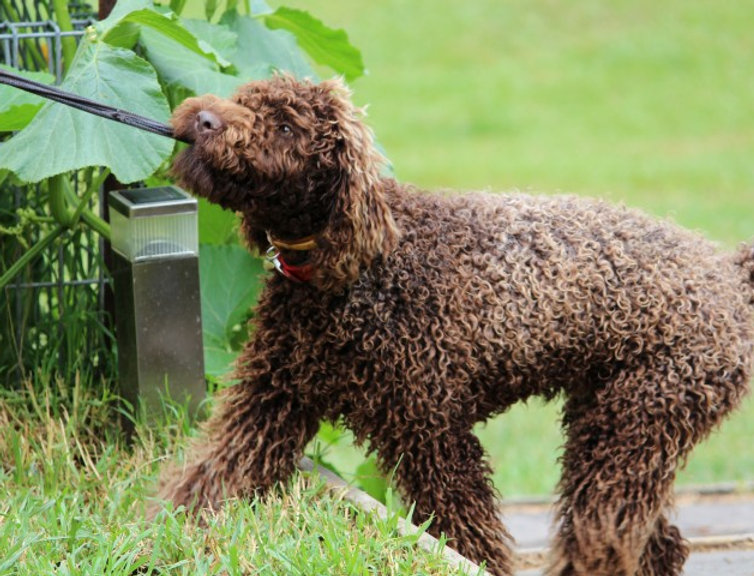 labradoodle puppies for sale groodle puppies