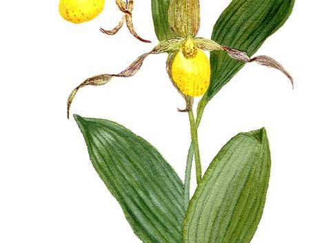 Yellow Lady's Slipper Botanical