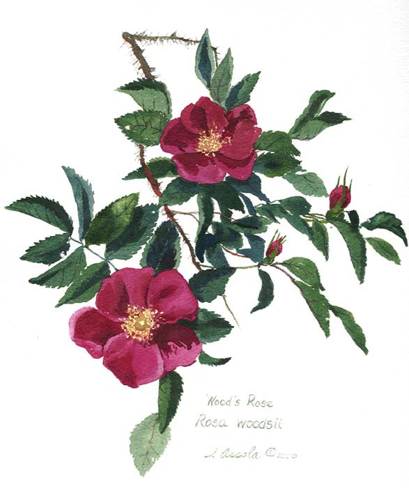 Wild Rose Botanical