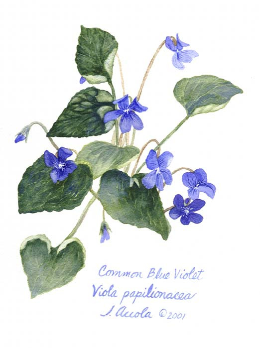 Common Blue Violet Botanical