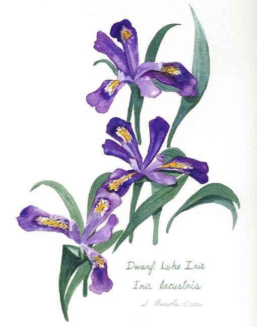 Dwarf Lake Iris Botanical