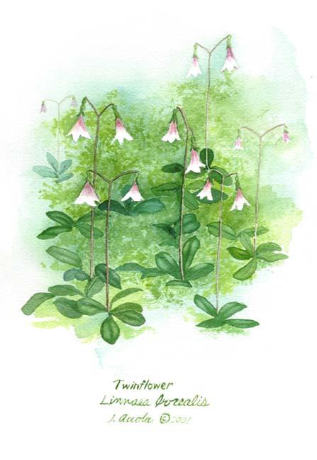 Twinflower Botanical