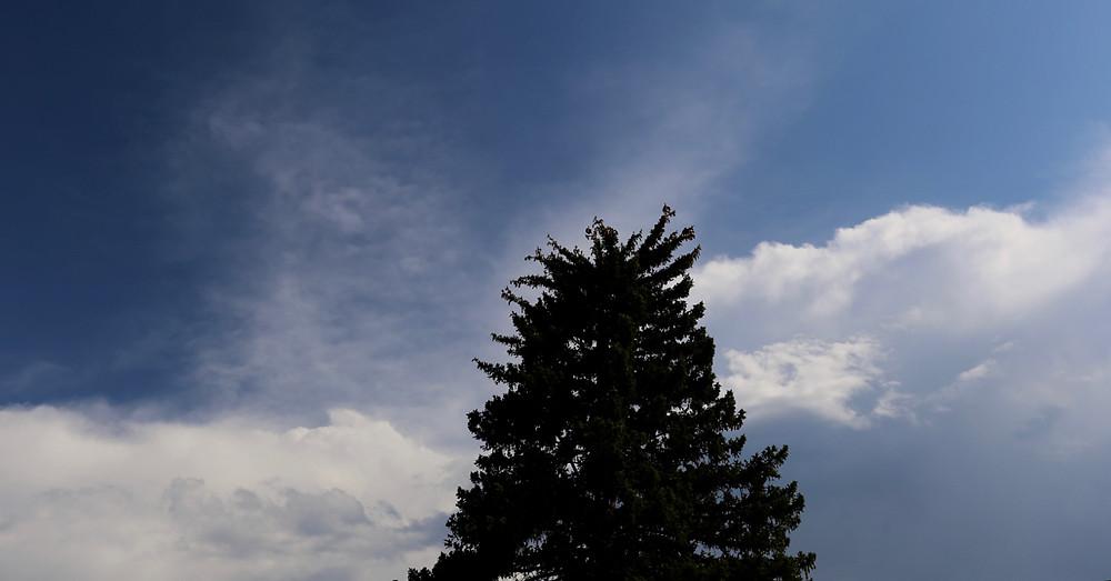 Taos Pine