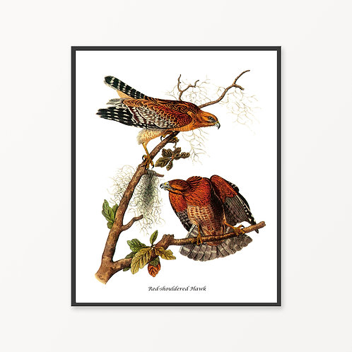 Red-shouldered Hawk Hand Drawn illustration