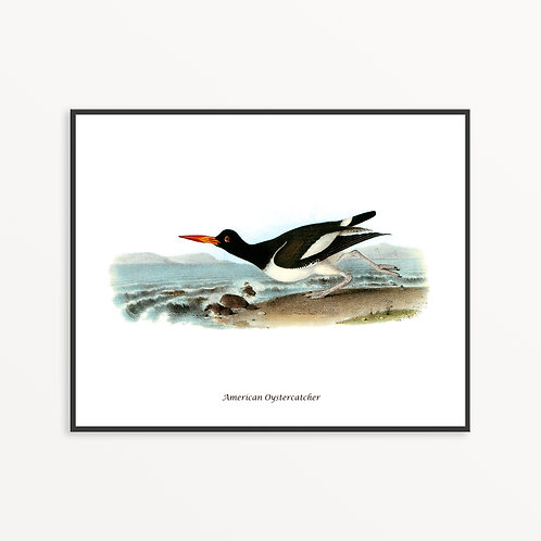 American Oystercatcher Hand Drawn illustration