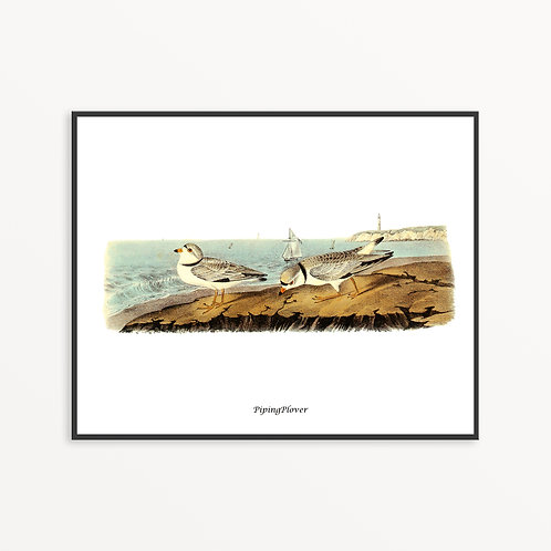 Piping Plover Hand Drawn illustration