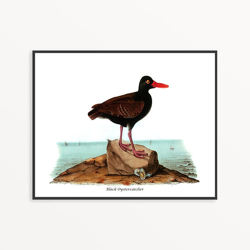 Black Oystercatcher Hand Drawn illustration