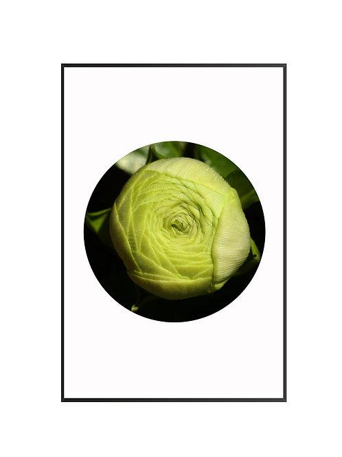 Ranunculus Circle Print M25
