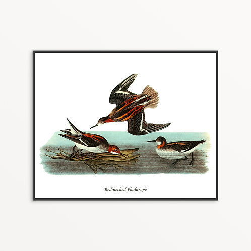 Red-necked Phalarope Hand Drawn illustration