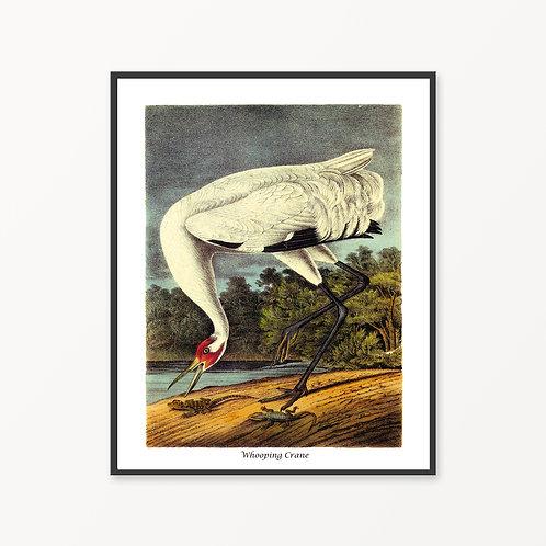 Whooping Crane Hand Drawn illustration