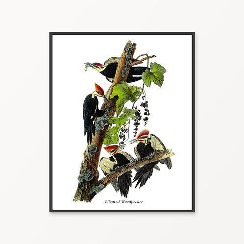 Pileated Woodpecker Hand Drawn illustration