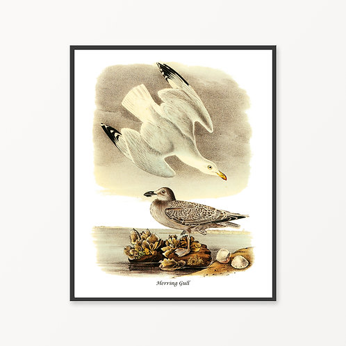 Herring Gull Hand Drawn illustration